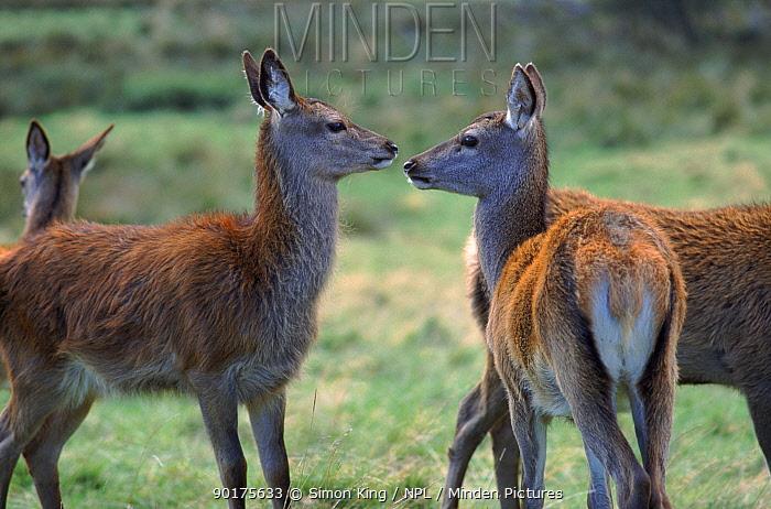 Red deer does UK  -  Simon King/ npl