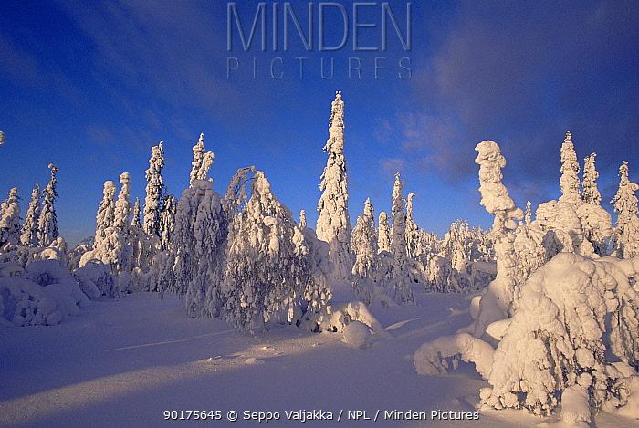 Snow laden trees in boreal forest in winter, Finland  -  Seppo Valjakka/ npl