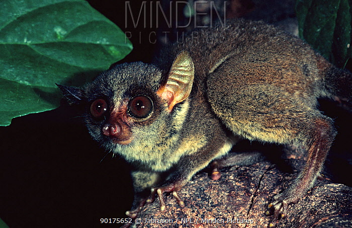 Demidoff's bushbaby (Galago demidoff) Epulu Ituri Rainforest Reserve, Democratic Republic of Congo, Central Africa  -  Jabruson/ npl
