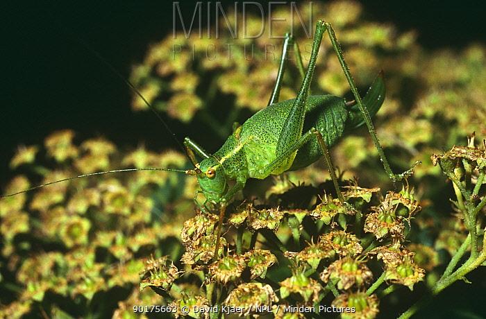 Speckled bush cricket, female (Leptophyes punctatissima) Wiltshire, UK  -  David Kjaer/ npl