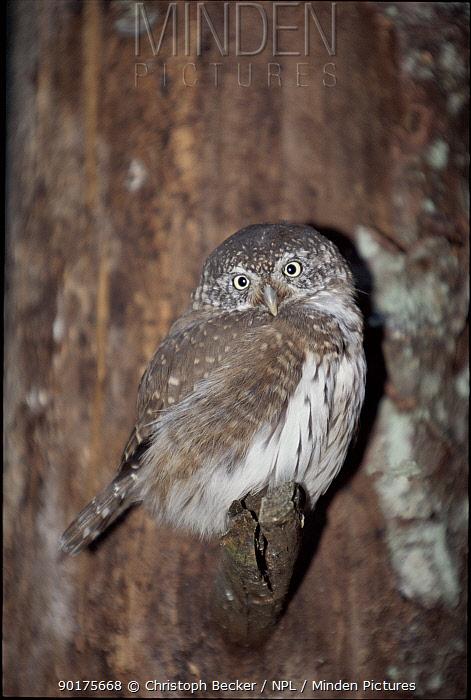 Eurasian pygmy owl on branch Germany Bavarian Forest National Park, Germany  -  Christoph Becker/ npl
