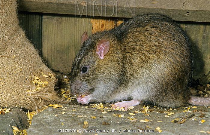Brown rat (Rattus norvegicus) feeding on grain Captive, UK  -  David Kjaer/ npl