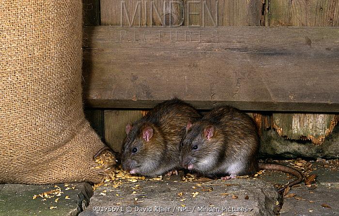 Brown rats (Rattus norvegicus) feeding on grain, captive, UK  -  David Kjaer/ npl