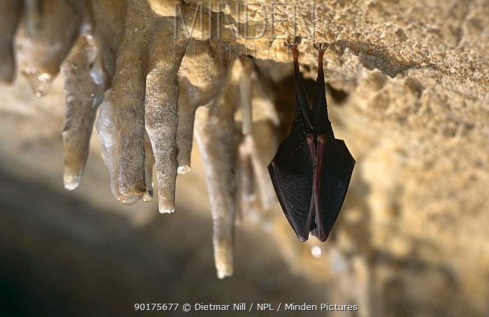 Lesser horseshoe bat (Rhinolophus hipposideros) roosting next to stalactites, Germany  -  Dietmar Nill/ npl