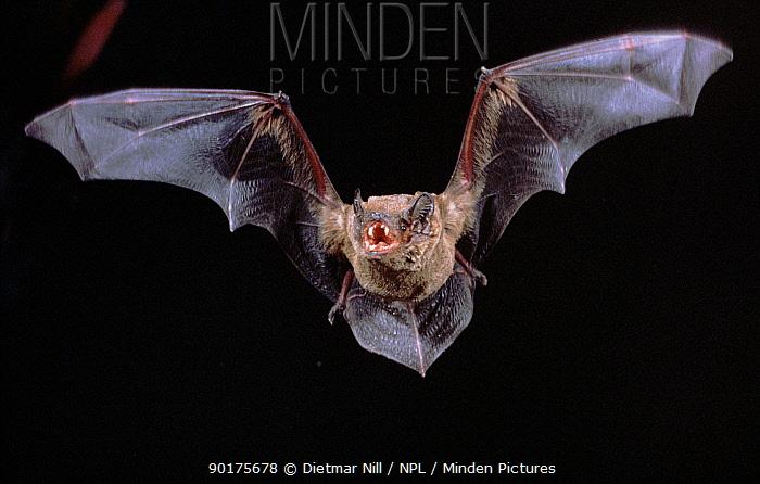 Noctule Bat in flight showing teeth, Germany  -  Dietmar Nill/ npl