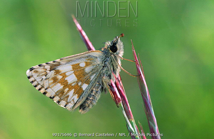 Grizzled skipper butterfly (Pyrgus malvae) Belgium  -  Bernard Castelein/ npl