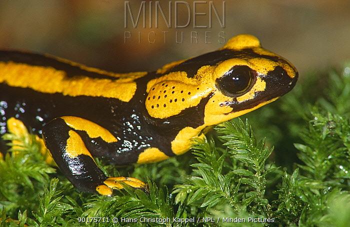 Striped European (fire) salamander (Salamandra salamandra) Germany  -  Hans Christoph Kappel/ npl