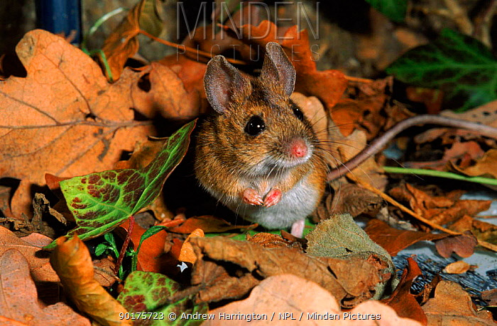 Wood mouse (Apodemus sylvaticus) UK C  -  Andrew Harrington/ npl