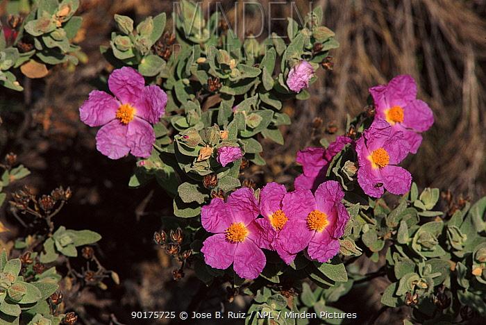 Grey leaved cistus (rockrose) in flower, Alicante Spain  -  Jose B. Ruiz/ npl