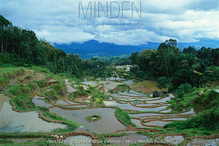 Flooded Rice paddy fields, Central Sulawesi, Indonesia  -  Constantinos Petrinos/ npl
