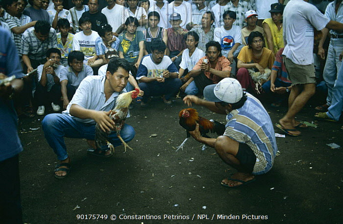 Illegal Cock fighting 'game', Northern Sulawesi, Indonesia  -  Constantinos Petrinos/ npl