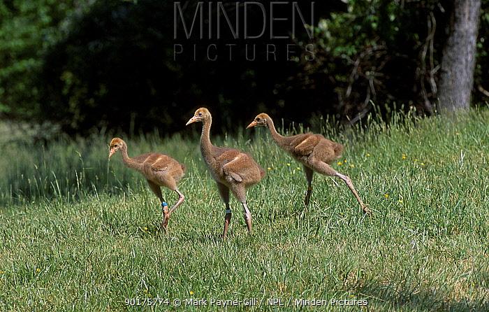Whooping crane chicks (Grus americana) Operation migration MD USA, captive  -  Mark Payne-Gill/ npl