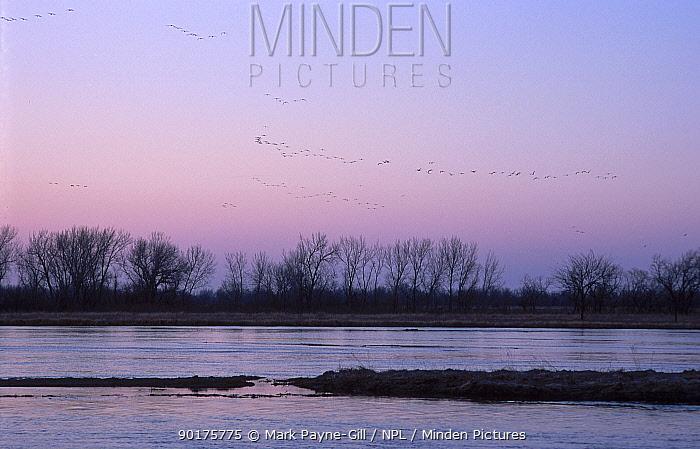 Sandhill cranes flying over Platte river Nebraska USA (Grus canadensis) march 200  -  Mark Payne-Gill/ npl