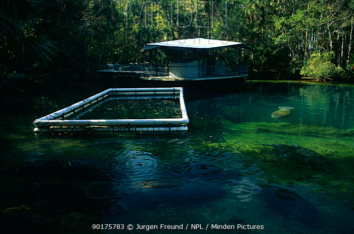 feeding cage for West Indian manatees (Trichechus manatus) Homosassa Springs, Florida, USA  -  Jurgen Freund/ npl