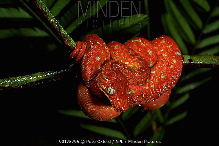 Juvenile Emerald tree boa (Corallus canina) Iwokrama Reserve, Guyana, South America  -  Pete Oxford/ npl