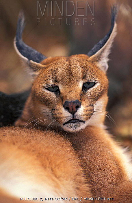 Caracal portrait (Felis caracal) South Africa  -  Pete Oxford/ npl