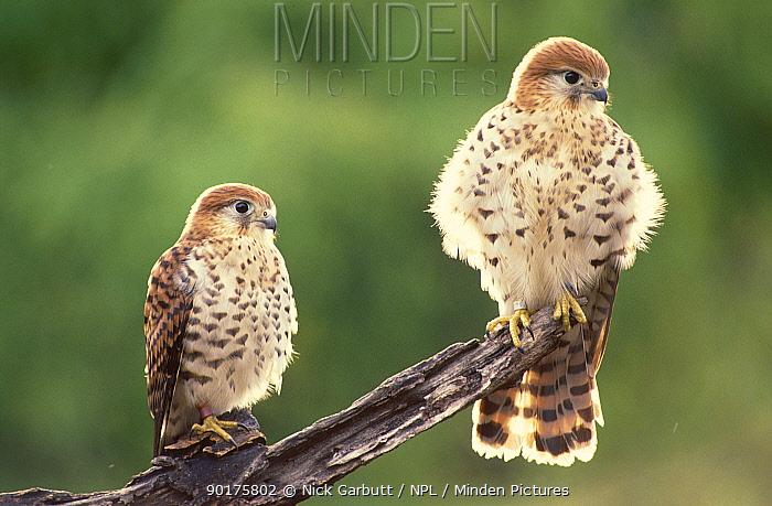Mauritius kestrel fledglings (Falco punctatus) Mauritius 50-days-old  -  Nick Garbutt/ npl