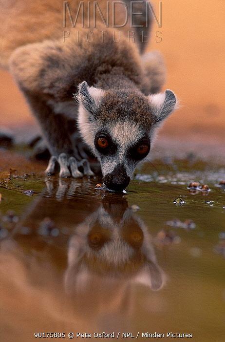 Ring-tailed lemur drinking (Lemur catta) Berenty Private Reserve Madagascar  -  Pete Oxford/ npl
