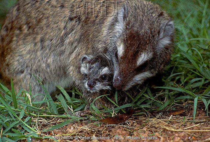Tree hyrax with newborn baby (Drohyrax arboreus) Masai mara Kenya  -  Peter Blackwell/ npl