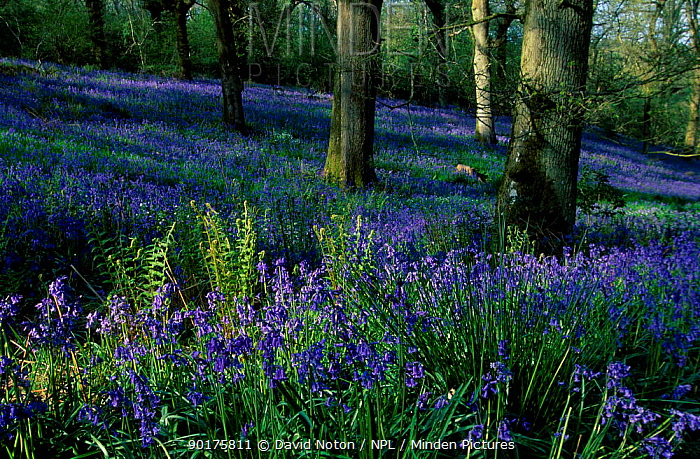 Bluebells in wood Dorset UK  -  David Noton/ npl