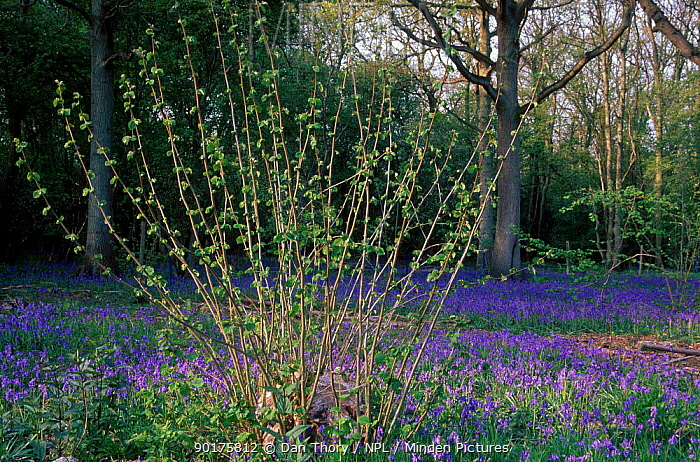 Young hazel coppice (Corylus avellana) with Bluebells UK  -  Dan Thory/ npl
