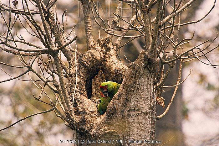 Male feeding female Buffon's macaw (Ara ambigua) at nest, Ecuador  -  Pete Oxford/ npl