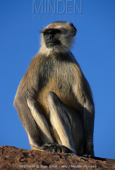 Hanuman langur (Presbytis entellus) Jodhpur India  -  Ingo Arndt/ npl