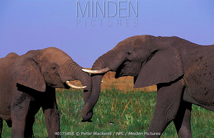 Male African elephants sparring (Loxodonta africana) Masai Mara Kenya  -  Peter Blackwell/ npl