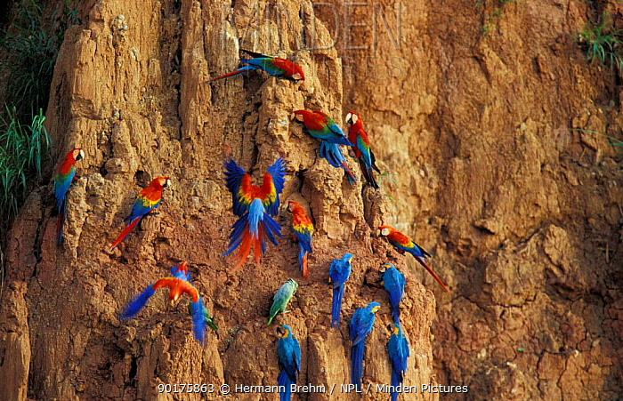 Scarlet macaws, Blue and yellow macaws and Red and green macaws on clay lick Tambopata, Peru  -  Hermann Brehm/ npl