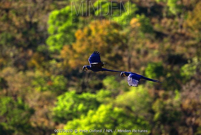 Hyacinth macaws in flight (Anodorhynchus hyacinthinus) Pantanal, Brazil, South America  -  Pete Oxford/ npl