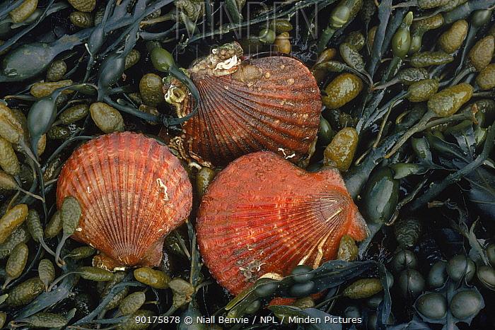 Queen Scallop shells on kelp (Chlamys opercularis) Scotland  -  Niall Benvie/ npl