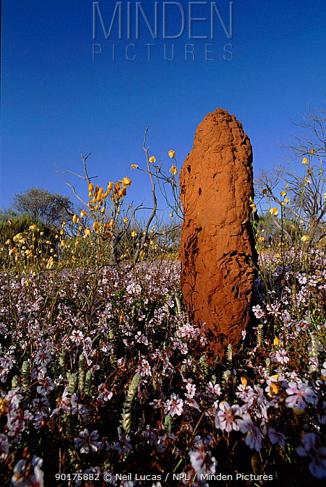 Termite mound amongst Everlasting flowers, Western Australia  -  Neil Lucas/ npl