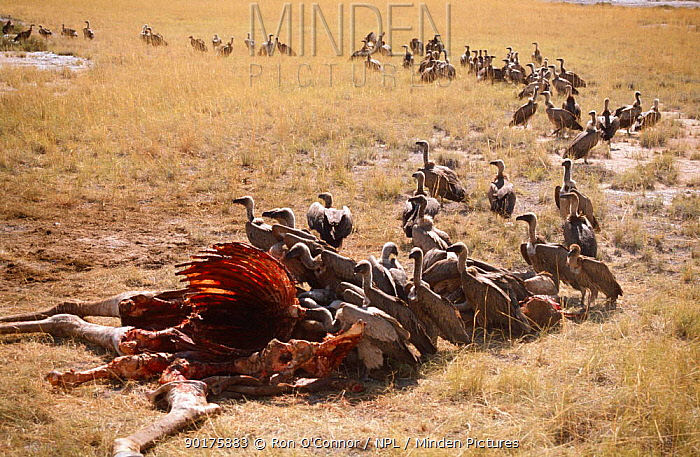 White Backed Vultures (Gyps africanus) queuing up to feed on giraffe carcass, Namibia  -  Ron O'Connor/ npl