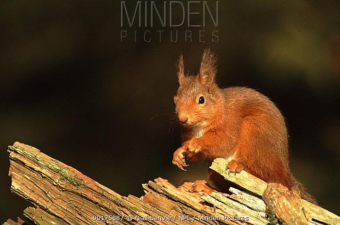 Red squirrel on tree stump, Scotland  -  Niall Benvie/ npl