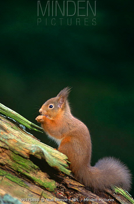 Red squirrel (Sciurus vulgaris) on tree stump, Scotland, UK  -  Niall Benvie/ npl