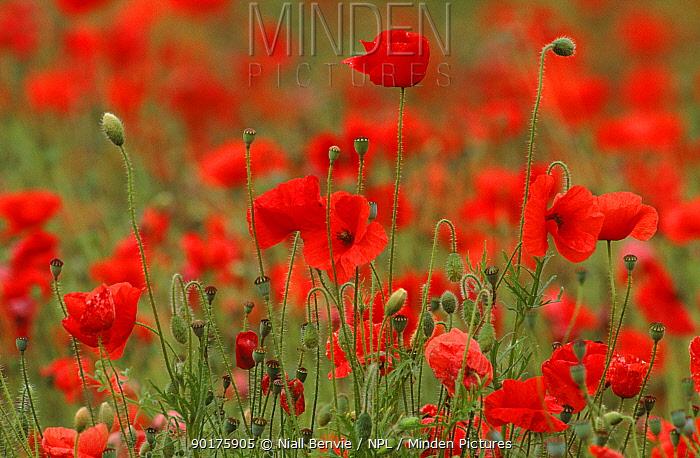 Poppies (Papaver rhoeas) UK, Europe  -  Niall Benvie/ npl