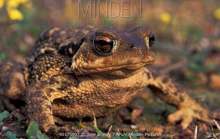 Common European toad female (Bufo bufo) Spain  -  Jose B. Ruiz/ npl