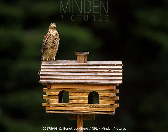 Sparrowhawk female on bird feeder Sweden  -  Bengt Lundberg/ npl