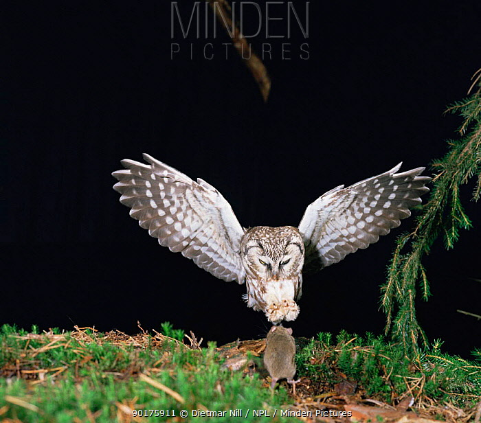 Tengmalm's Owl (Aegolius funerus) pouncing on mouse, Germany  -  Dietmar Nill/ npl