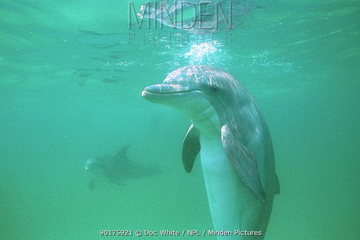 Bottle nosed dolphins in wild (Tursiops truncatus) Gulf of Mexico, Atlantic Ocean  -  Doc White/ npl
