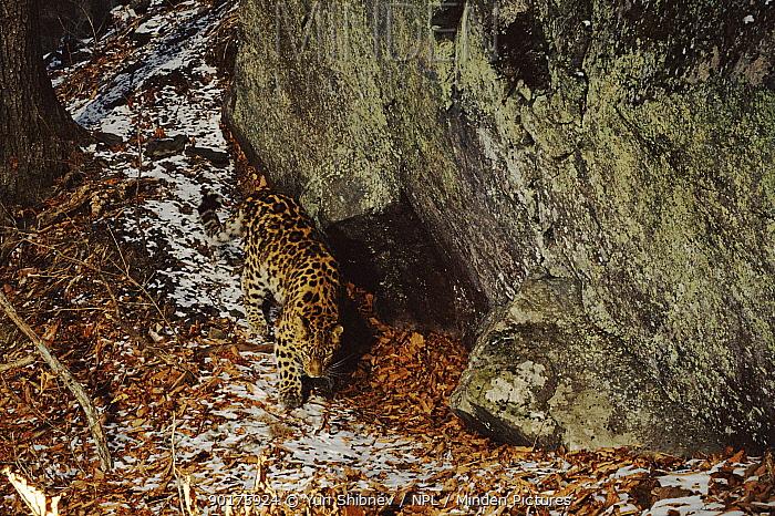Amur leopard (Panthera pardus orientalis) near den Ussuriland, South Primorsky Region, Russia  -  Yuri Shibnev/ npl