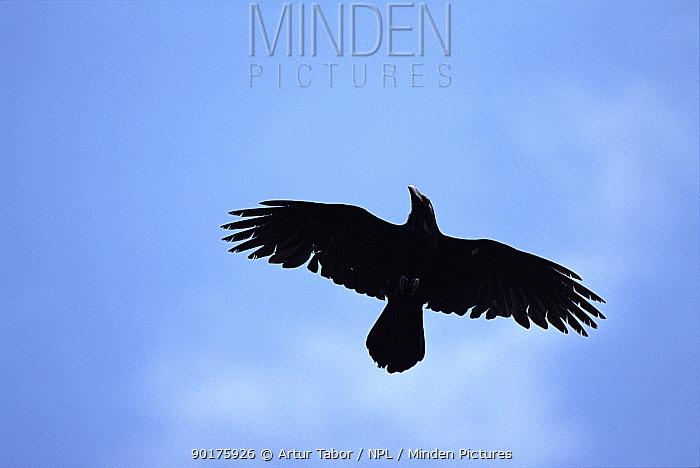 Common raven in flight (Corvus corax) Poland, Europe  -  Artur Tabor/ npl
