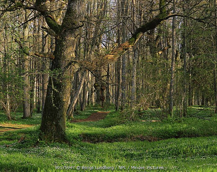 Spring in ancient oak forest, Narke, Sweden  -  Bengt Lundberg/ npl