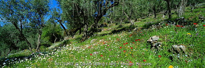 Panoramic view of wild flowers in traditional Olive grove in spring, Lesbos, Greece  -  David Tipling/ npl