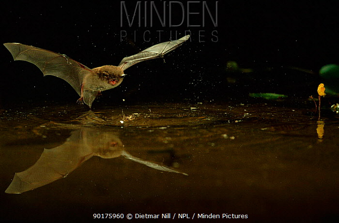 Daubenton's bat (Myotis daubentoni) hunting over water Germany, Europe  -  Dietmar Nill/ npl