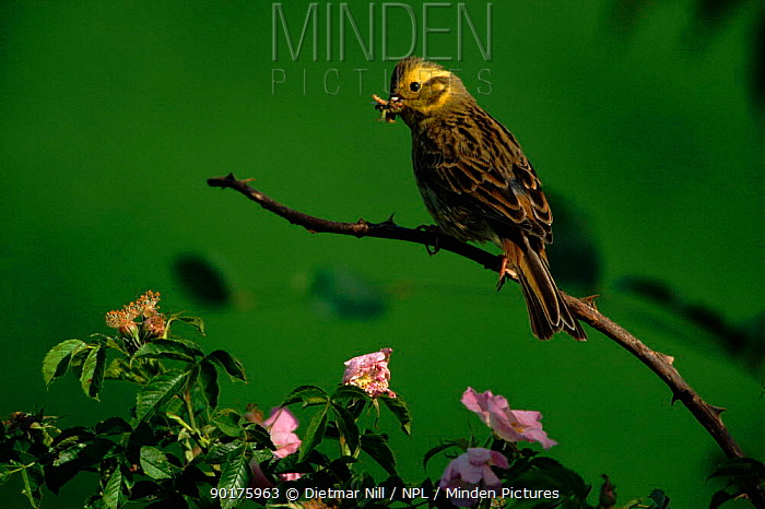 Yellowhammer (Emberiza citrinella) female with insect prey Germany, Europe  -  Dietmar Nill/ npl