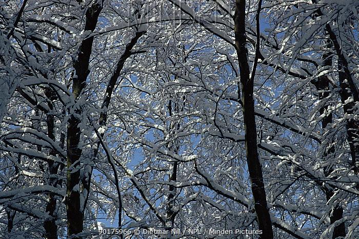 European beech wood (Fagus sylvatica) in winter Sweden, Scandinavia Europe  -  Dietmar Nill/ npl