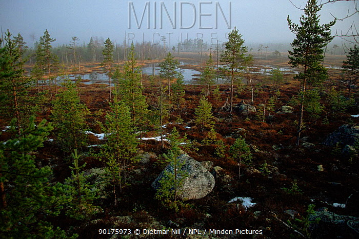 Heathland with coniferous trees and wetland Sweden, Scandinavia Europe  -  Dietmar Nill/ npl