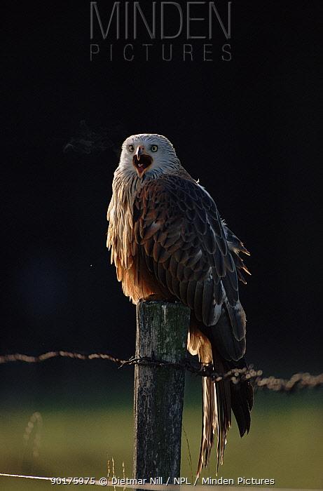 Red kite (Milvus milvus) calling Germany, Europe  -  Dietmar Nill/ npl