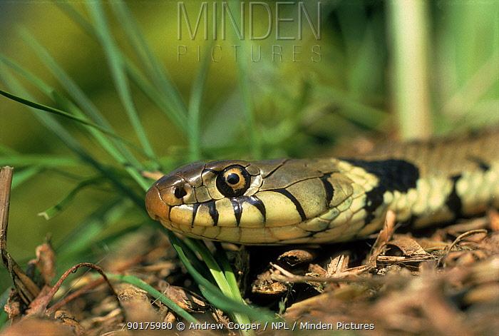 Grass Snake head, England  -  Andrew Cooper/ npl